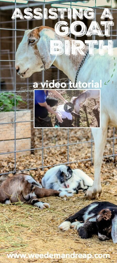 Assisting A Goat Birth {A Video Tutorial} || Weed 'Em and Reap