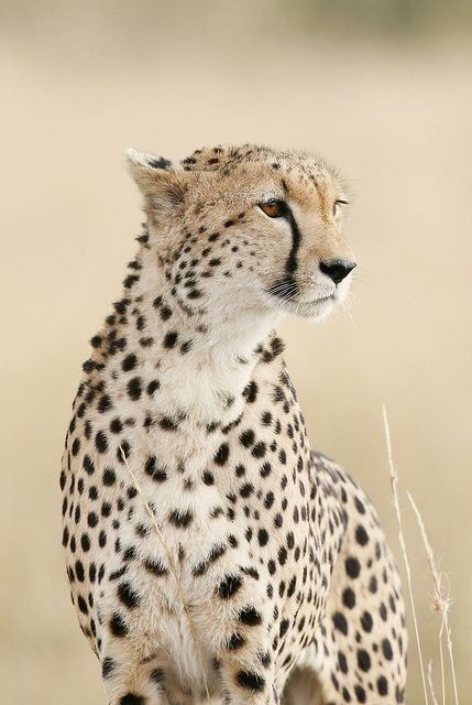 Cheetah on the look out, Masai Mara, Kenya by Olivier Delaere