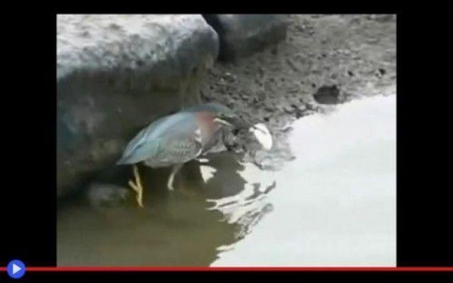 L'intelligenza quasi umana dell'airone di palude #animali #uccelli #natura #aironi #acqua