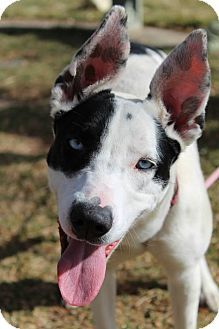 Border Collie/Husky Mix Dog for adoption in Canon City, Colorado - Sherbet