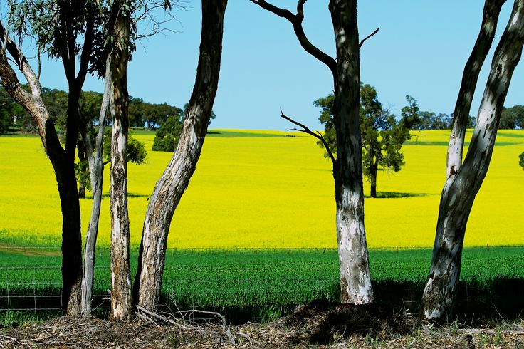 Western Australia in Spring - Canola field - The Wheatbelt , green and gold©