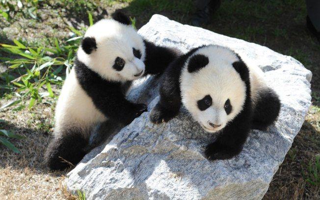 Estudo aponta que fezes de ursos pandas aceleram produção de biocombustíveis - Ciência - iG