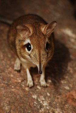 This adorable little creature is a Rufous elephant shrew.