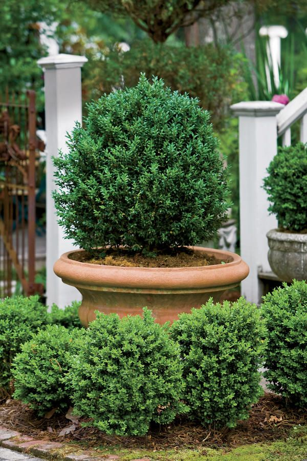 Mix varieties of the same plant. Dwarf English boxwoods growing in the ground surround a terra-cotta pot planted with an American boxwood.  Boxwood Basics