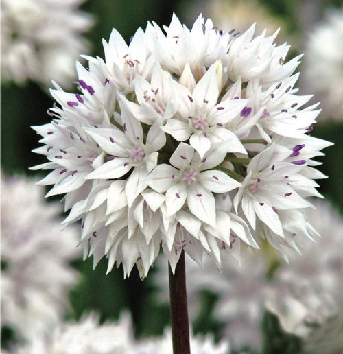 Graceful Allium - Veseys