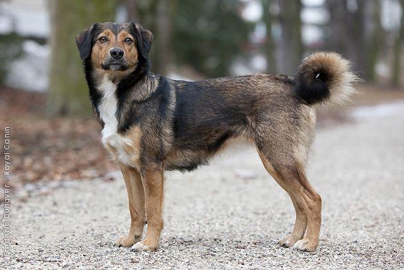Österreichischer Pinscher Royal Canin Österreich