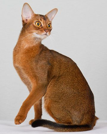 Abyssinian-maybe Cleopatra had one
