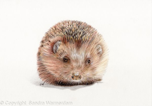 Hedgehog - Coloured Pencil Drawing