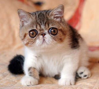 Exotic Shorthair Kitten. Curious, i looked up the breed. Like Persians, British shorthairs, Himalayans and Pug dogs, they are Brachycephalic, referring to the ratio of the width and length of head. Cute, interesting little fellers. #catbreeds