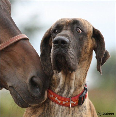 Do Great Danes And Cats Get Along