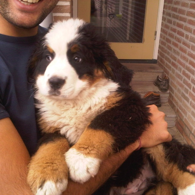 Healthy bernesse mountain dog. Want it!!!!!
