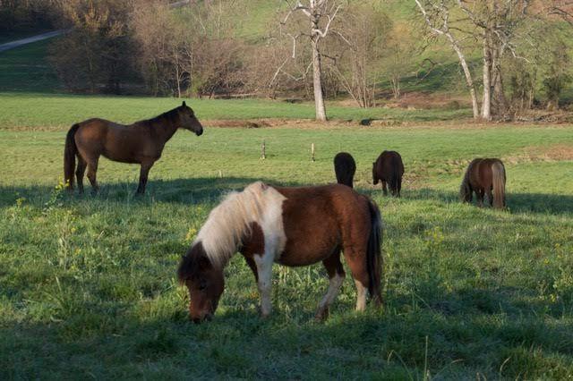 #mini #grazing #madisonfields #farmlife #horses