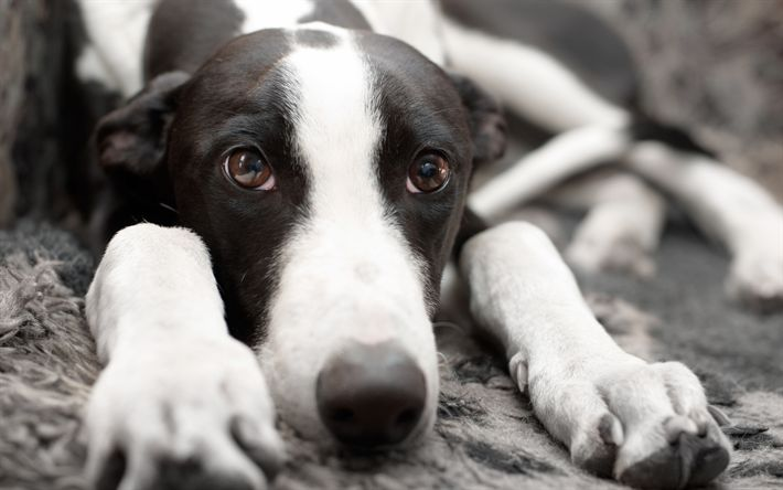 Download wallpapers Greyhound, 4k, muzzle, pets, dogs, cute animals, Greyhound Dog