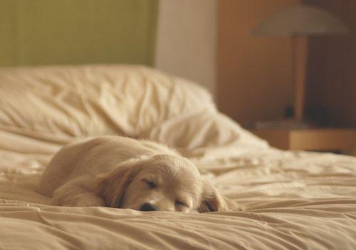 Sleep Beautiful, Sleepy Time, Dogs, Sweets Dreams, Cuddling Buddy, Naps Time, Happy Puppies, Animal, Golden Retriever