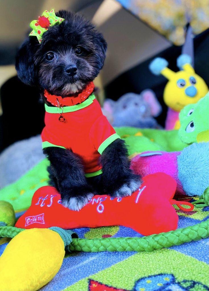 BabyRudolph male CKC Maltipoo doggie for sale at Houston