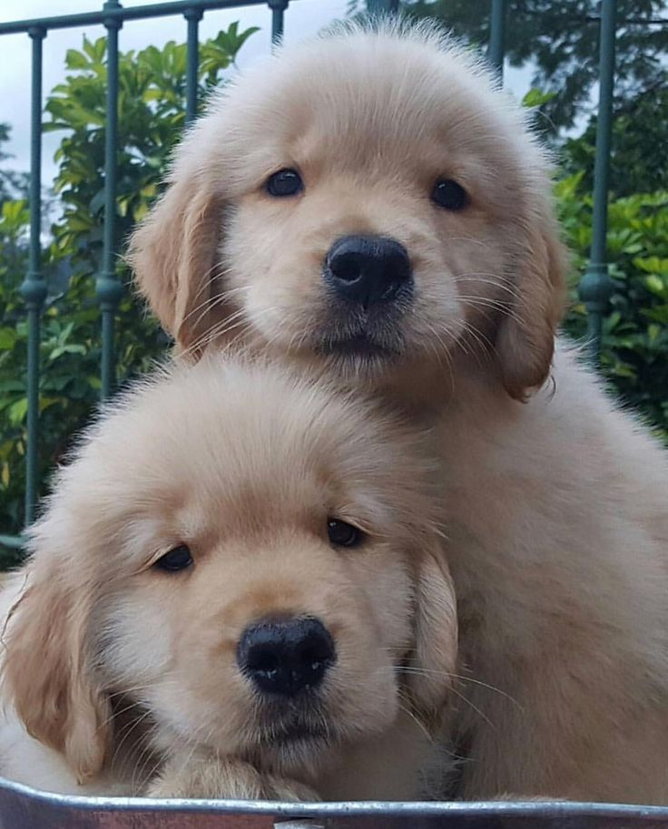 Two Little Nuggets Goldenretriever Puppy Cute Baby Animals