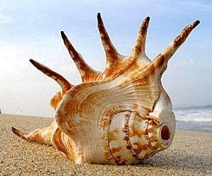 Conch Shell Horn - Wow!  this one is a real beauty.  I wonder how it sounds and how easy it is to play.
