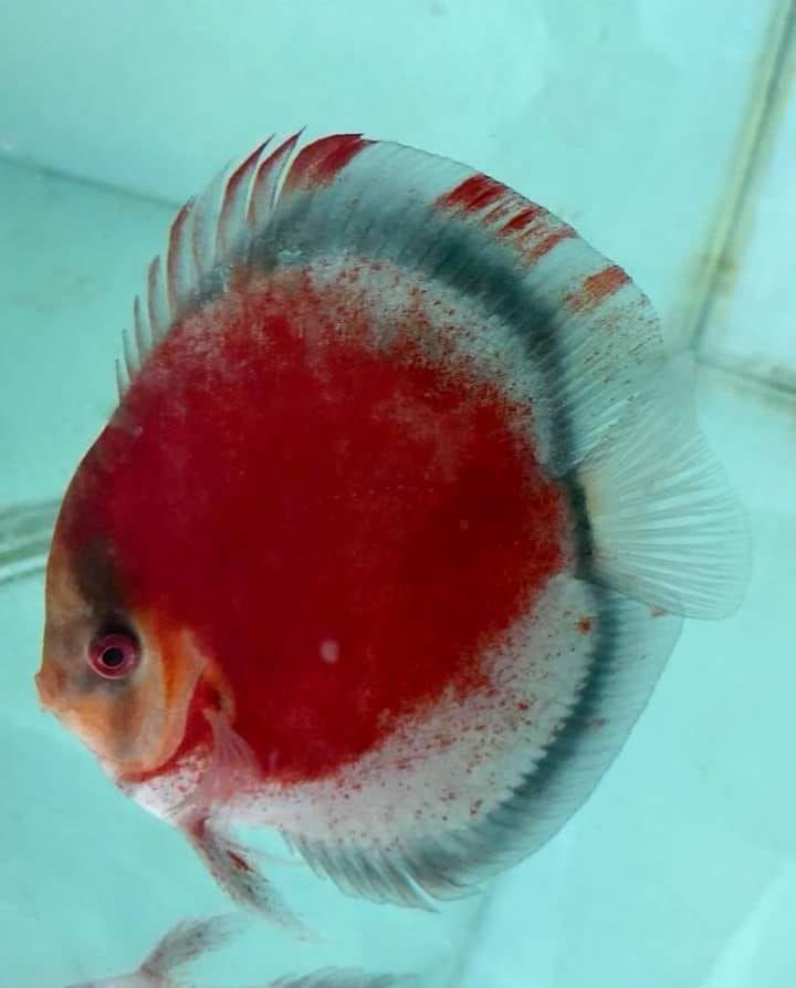 Photo Gallery Of Discus Fish Live Tropical Fish Live Tropical Fish In 2020 Discus Fish Fish Aquarium Decorations Aquarium Fish