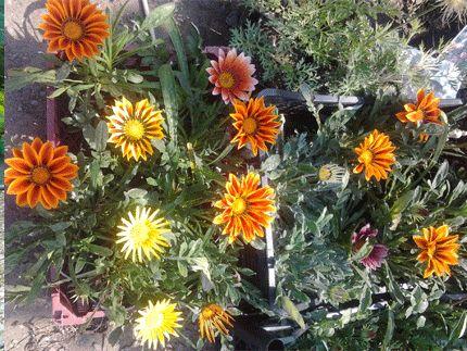 Цветы однолетние садовые — Купить в Кременчуге Цветы однолетние ...