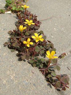 šťavel růžkatý - Oxalis corniculata | Květena České republiky - plané rostliny…