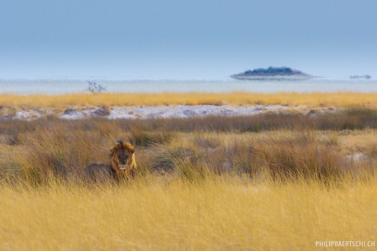 Namibian lion in front of salt pan. By Philip Bärtschi.