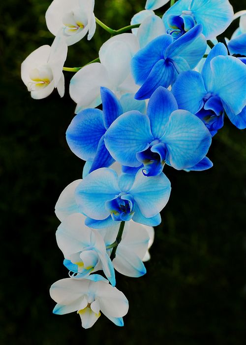 Gorgeous! Amazing colors! -'Blue Mystique' Moth Orchid