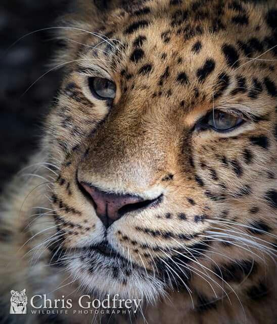 Amur Leopard   Luiperd   Amur leopard, Cats, Leopards