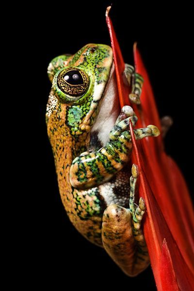 The Big-eyed Tree Frog, or Peacock Tree Frog (Leptopelis vermiculatus) is found in forest areas in Tanzania. In some literature it is referred to as the Amani Forest Tree Frog.