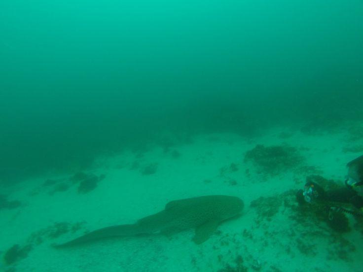 Tigerhai in Bayron Bay, Australien
