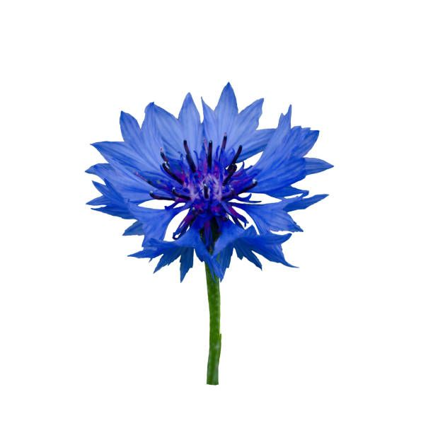 Royalty Free Cornflower Pictures Images And Stock Photos Istock Cornflower Flower Drawing Flowers