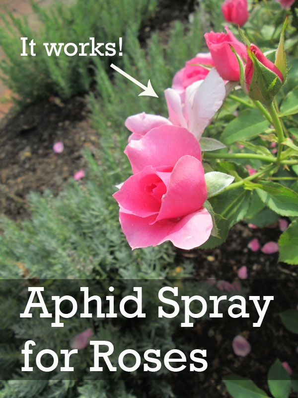 Easy home made spray for roses to get rid of aphids