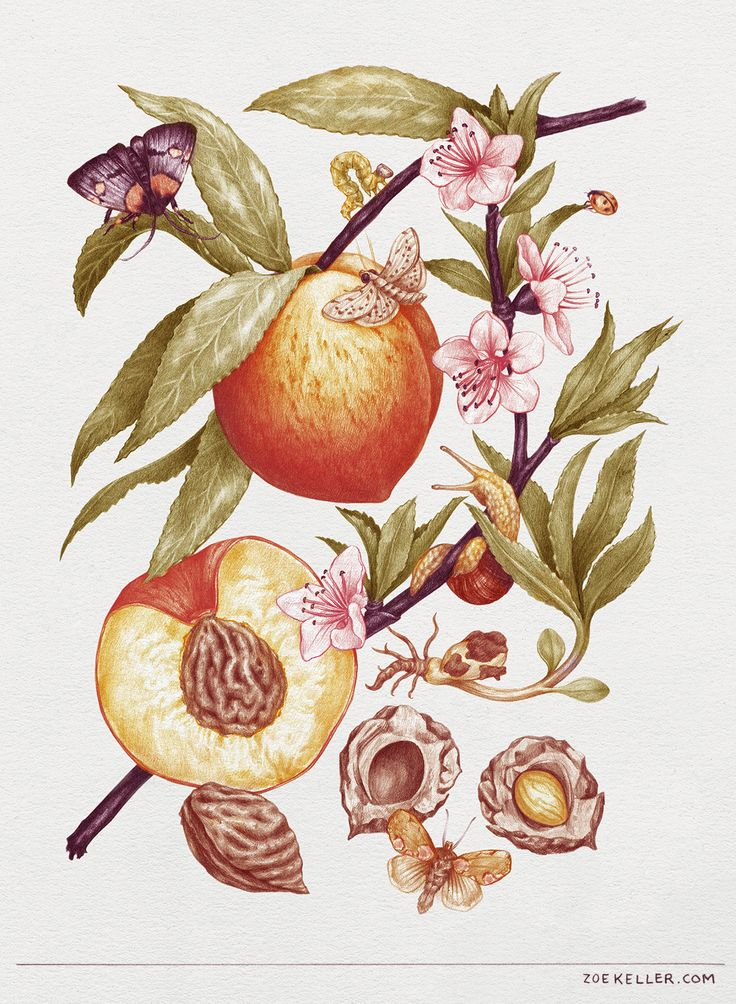 compassandwheel:  Inspired by vintage botanical illustrations, I just finished up this drawing of the life cycle of a peach. Graphite with digital color.
