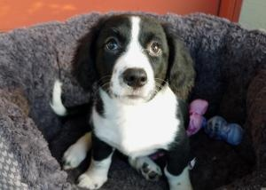 Twix the Borgi Puppy is an adoptable in Ocala, FL. BORDER COLLIE CORGI MIX, SO FREAKING CUTE!!