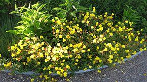 Årets perenn 2009, Gullnattljus, Oenothera fruticosa