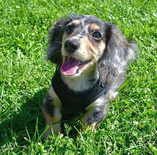 Tongue Out Tuesday Vibes Tot Dapple Dachshund Dachshund Lovers