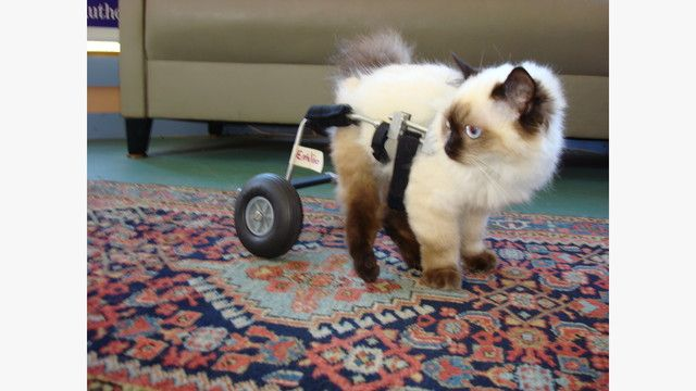 CAT WHEELCHAIRS: THE WHAT, WHY, WHERE, and HOW  Twenty years ago, the only options for a disabled cat with compromised mobility were to drag one end around or to be euthanized.