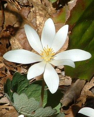 Bloodroot - Sanguinaria canadensis  ON native - blooms in deep shade in early spring