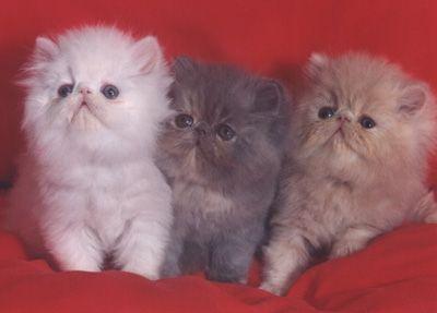 Razas de gatos: Angora