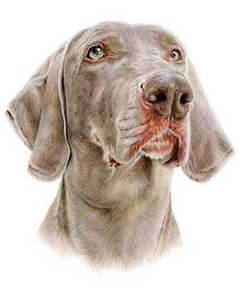 'Ben' Weimaraner coloured pencil drawing by Laura Hardie