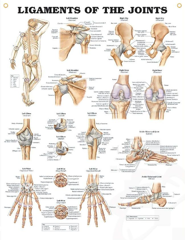 Ligaments of the Joints Chart 20x26 | 070_ ANATOMY (СКЕЛЕТ ...