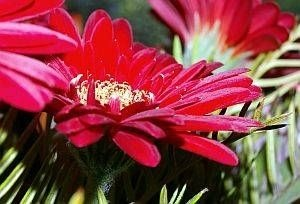 How to Care for Gerbera Daisy Plants