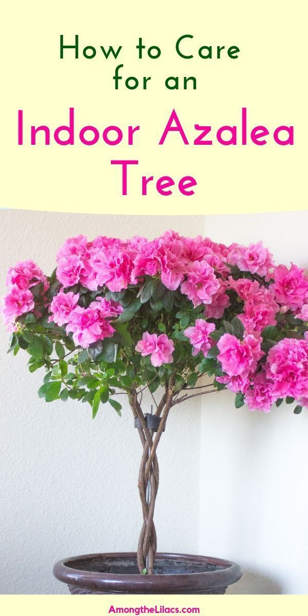 Indoor Azalea Trees Make Beautiful Houseplants Plant It In A Pretty Pot And Let The Flowers Be A Part Of Your In 2020 Azalea Flower Indoor Flowers Indoor Tree Plants