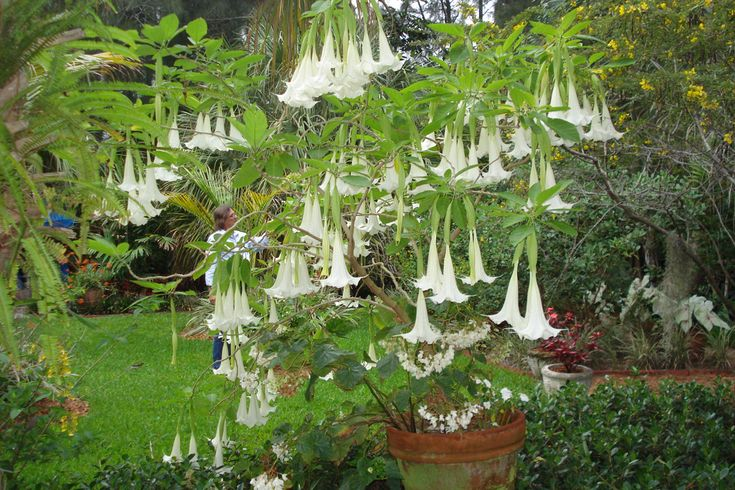 Angels 39 s trumpet plant - South florida vegetable gardening ...