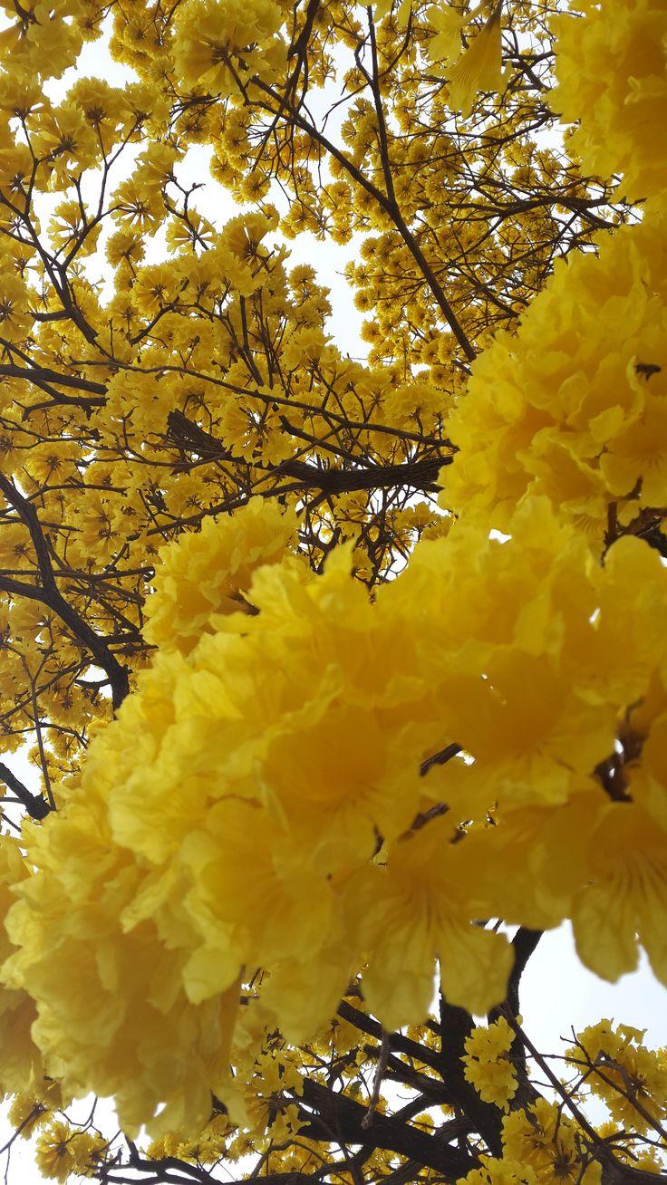 Tabebuia chrysotricha - Ipê amarelo by: Carolina Senra                                                                                                                                                                                 Mais