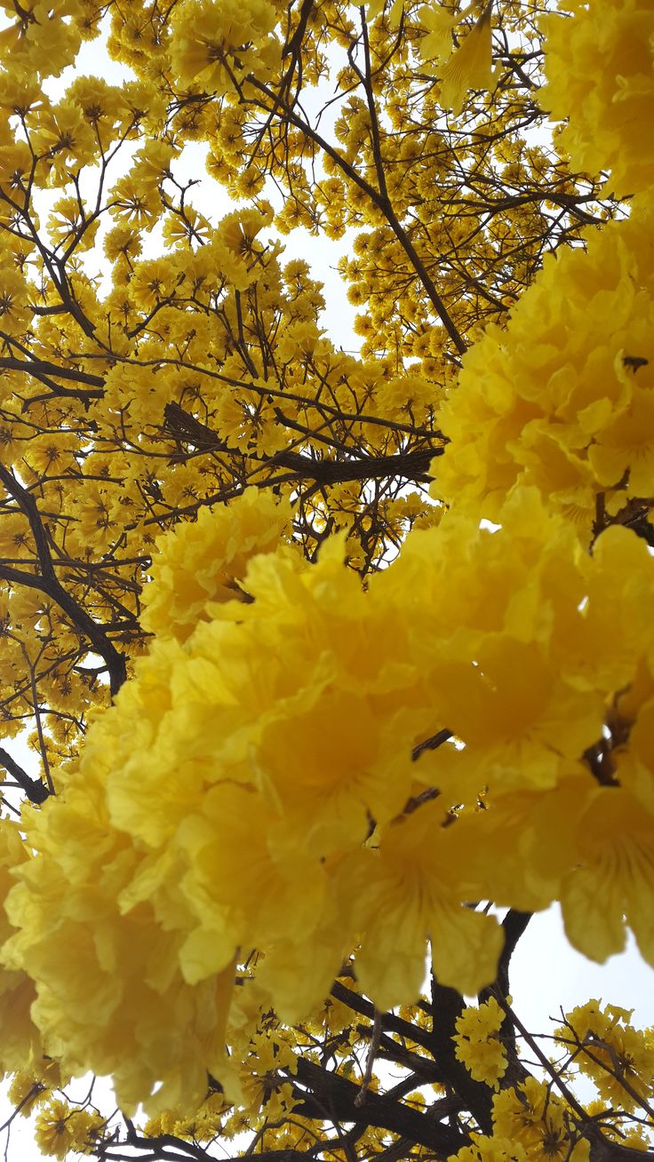 Tabebuia chrysotricha - Ipê amarelo by: Carolina Senra