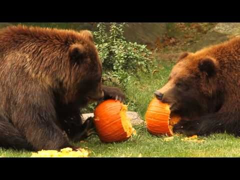 Bears Really Enjoy Pumpkins