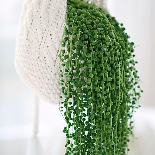 Erbsenpflanze- Lieferhöhe ca. 30 cm, Topf Ø 14 cm