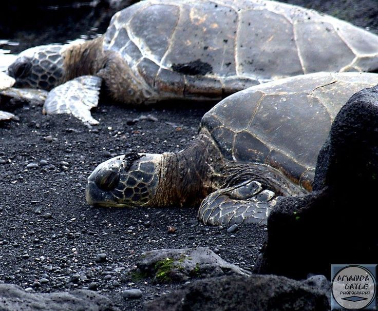 Pun alum black sand beach Hawaii green sea turtles