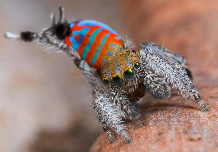 "Picture of a peacock spider called ""Sparklemuffin"""