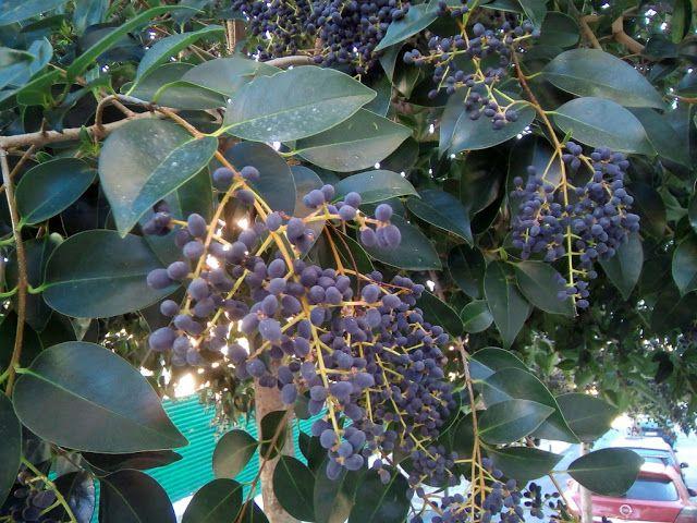 Ligustrum japonicum Thunb. (Aligustre del Japón).  En las imágenes se pueden observar los frutos de esta especie, que son bayas de color negro-azulado agrupadas en racimos, muy tóxicas.